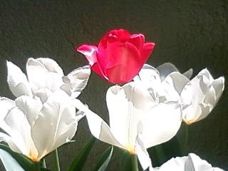 赤と白のチューリップ